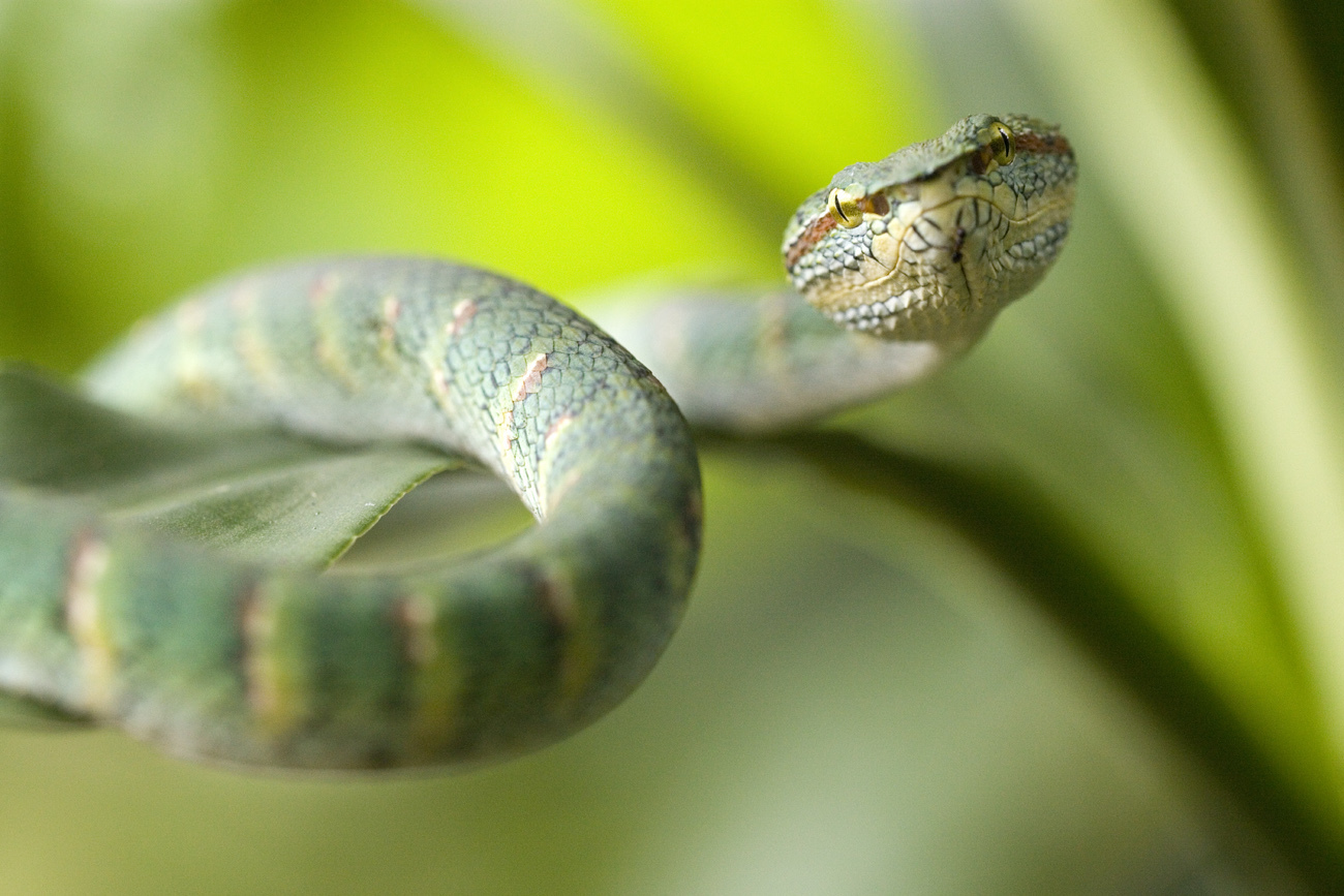 Image of Wagler's Keeled Green Pit Viper