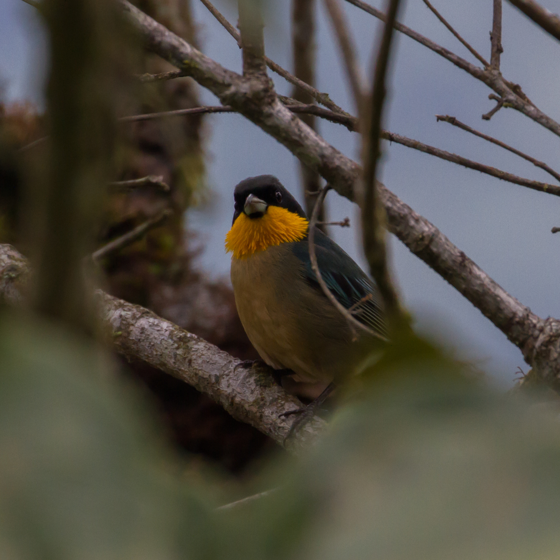 Image of Yellow-throated Tanager