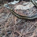 Image of Highland Garter Snake