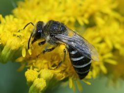 Image of <i>Colletes simulans armatus</i> Patton 1879