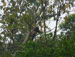 Image of Northern White-cheeked Gibbon