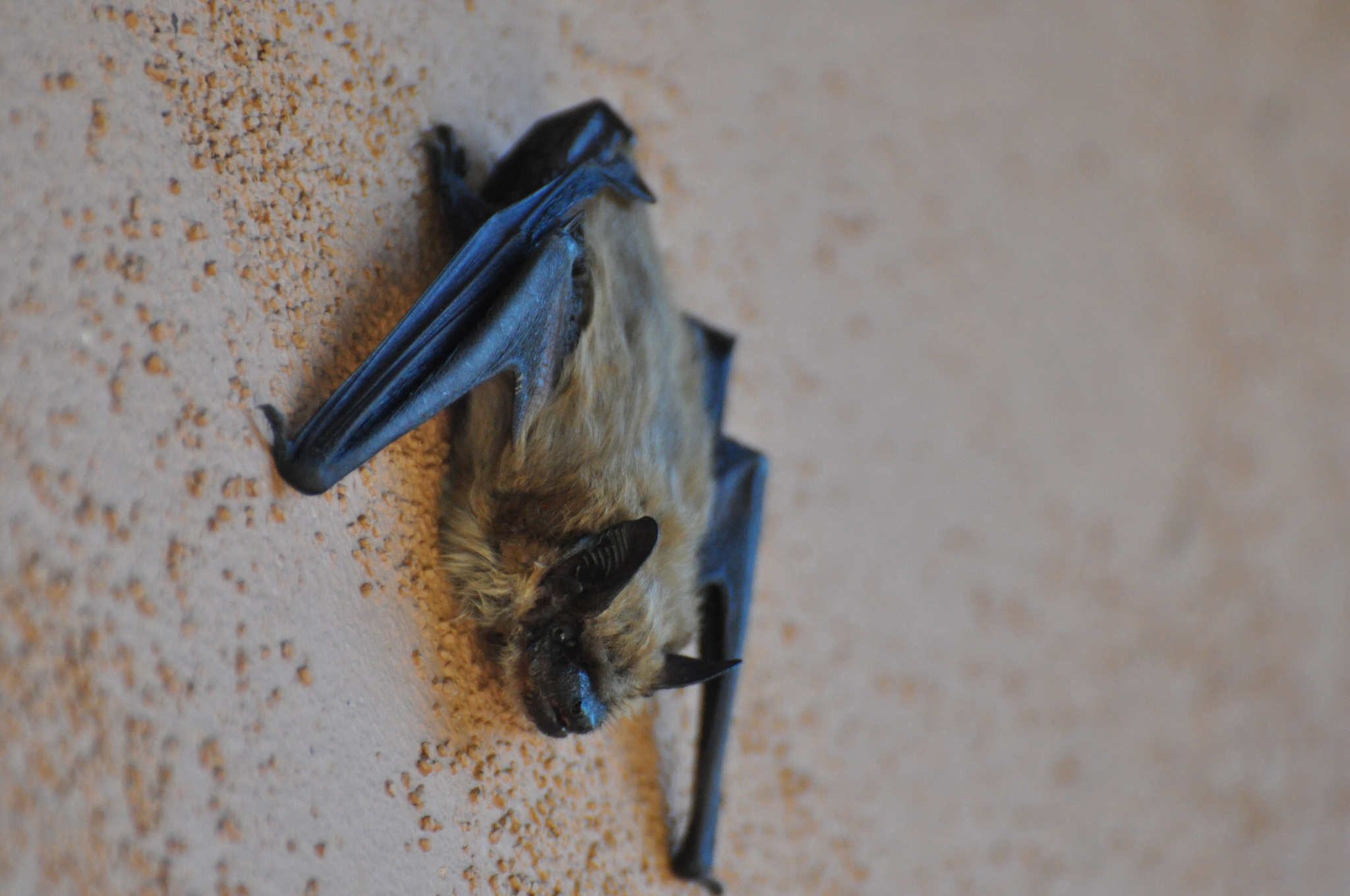 Image of western pipistrelle