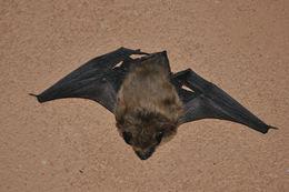 Image of Canyon bat
