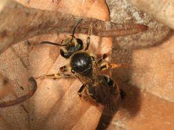 Image of <i>Andrena hippotes</i> Robertson 1895