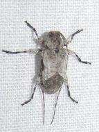 Image of <i>Leptostylus cretatellus</i> Bates 1863