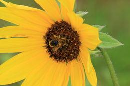 Image of Sunflower Andrena
