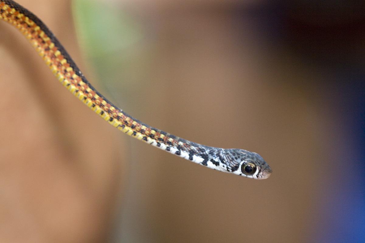 Image of Malayan Spotted Keelback Water Snake