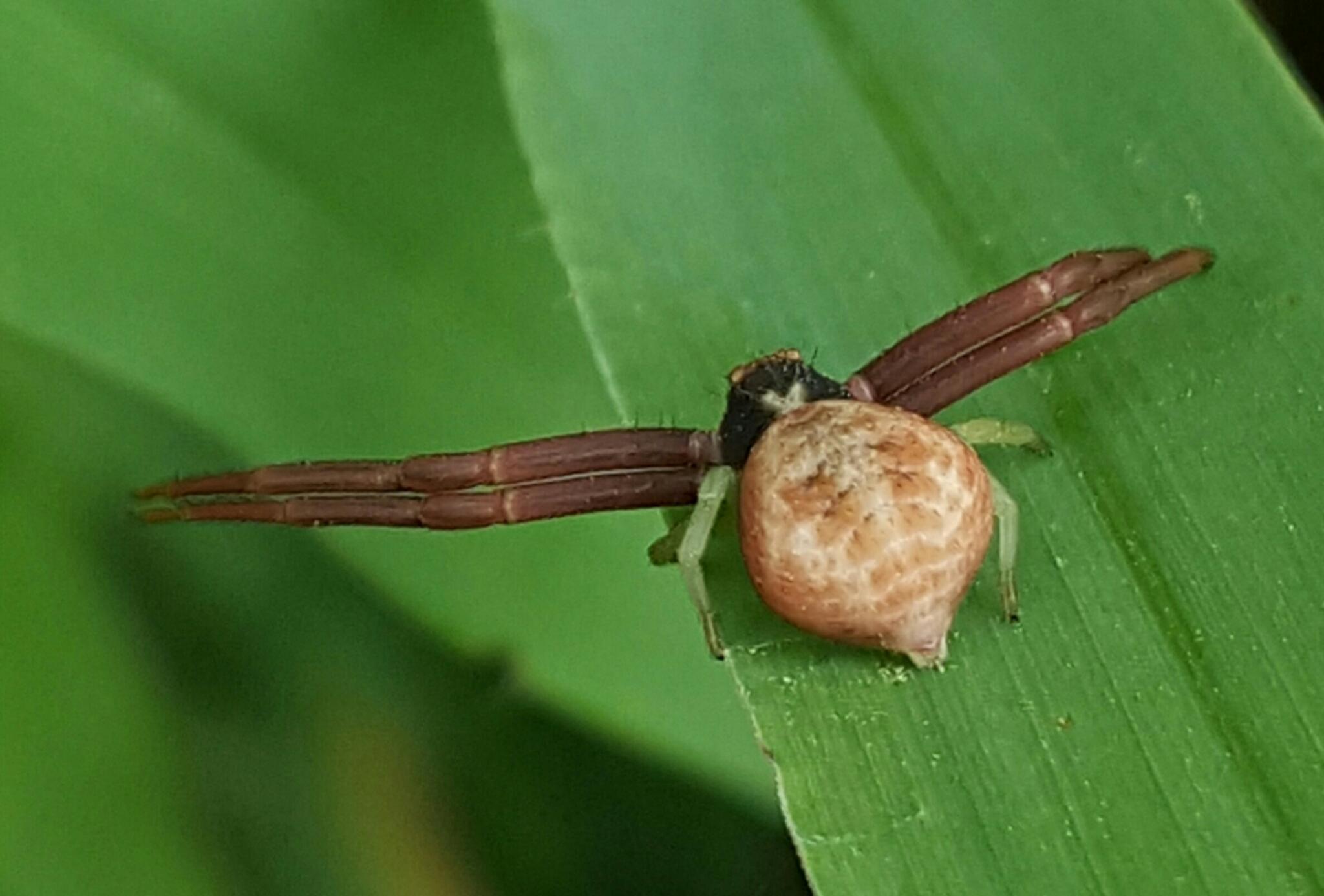 Image of <i>Mecaphesa dubia</i> (Keyserling 1880)