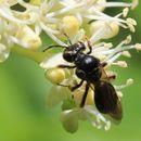 Image of <i>Andrena integra</i> Smith 1853