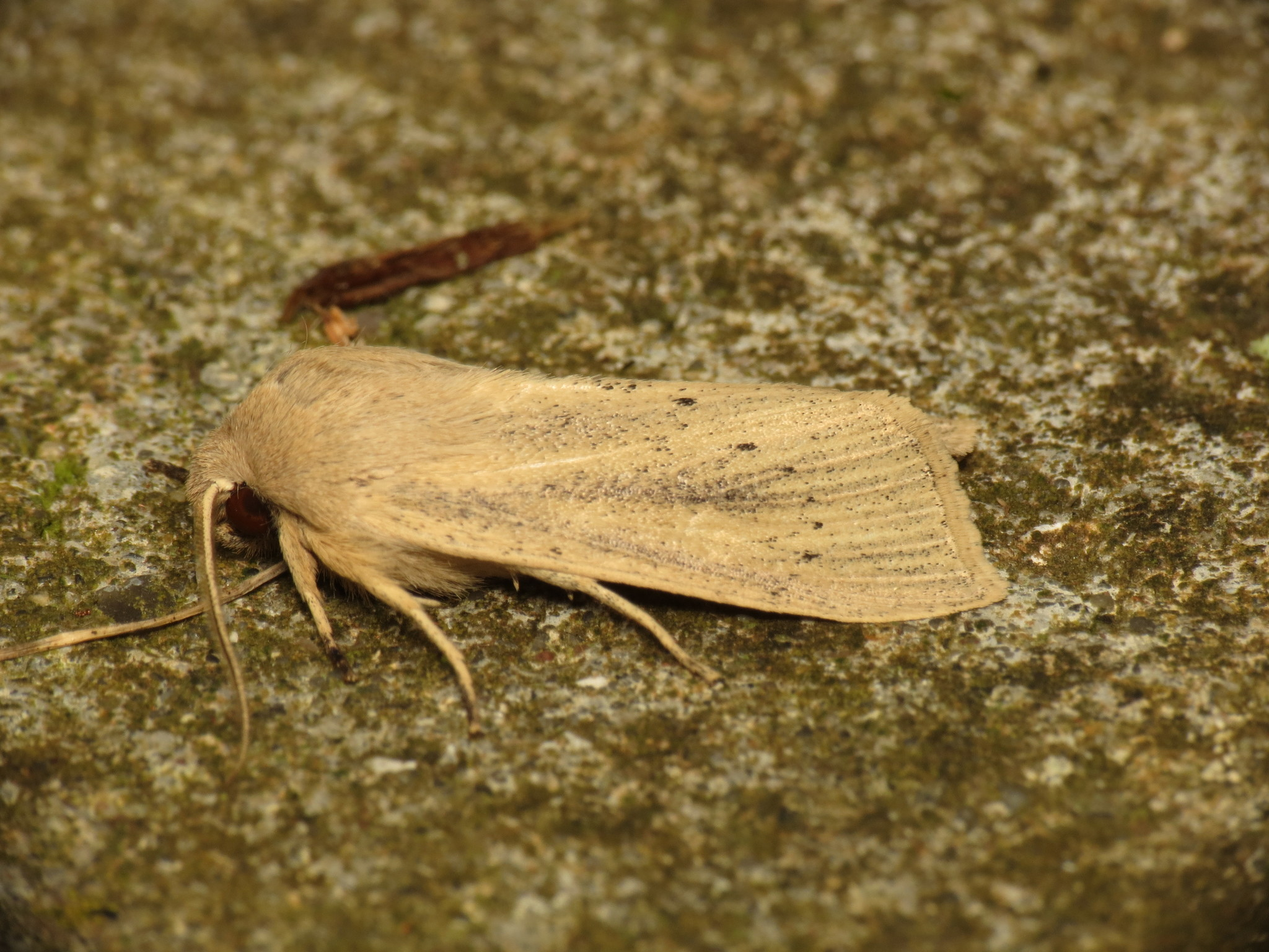 Image of Large Wainscot