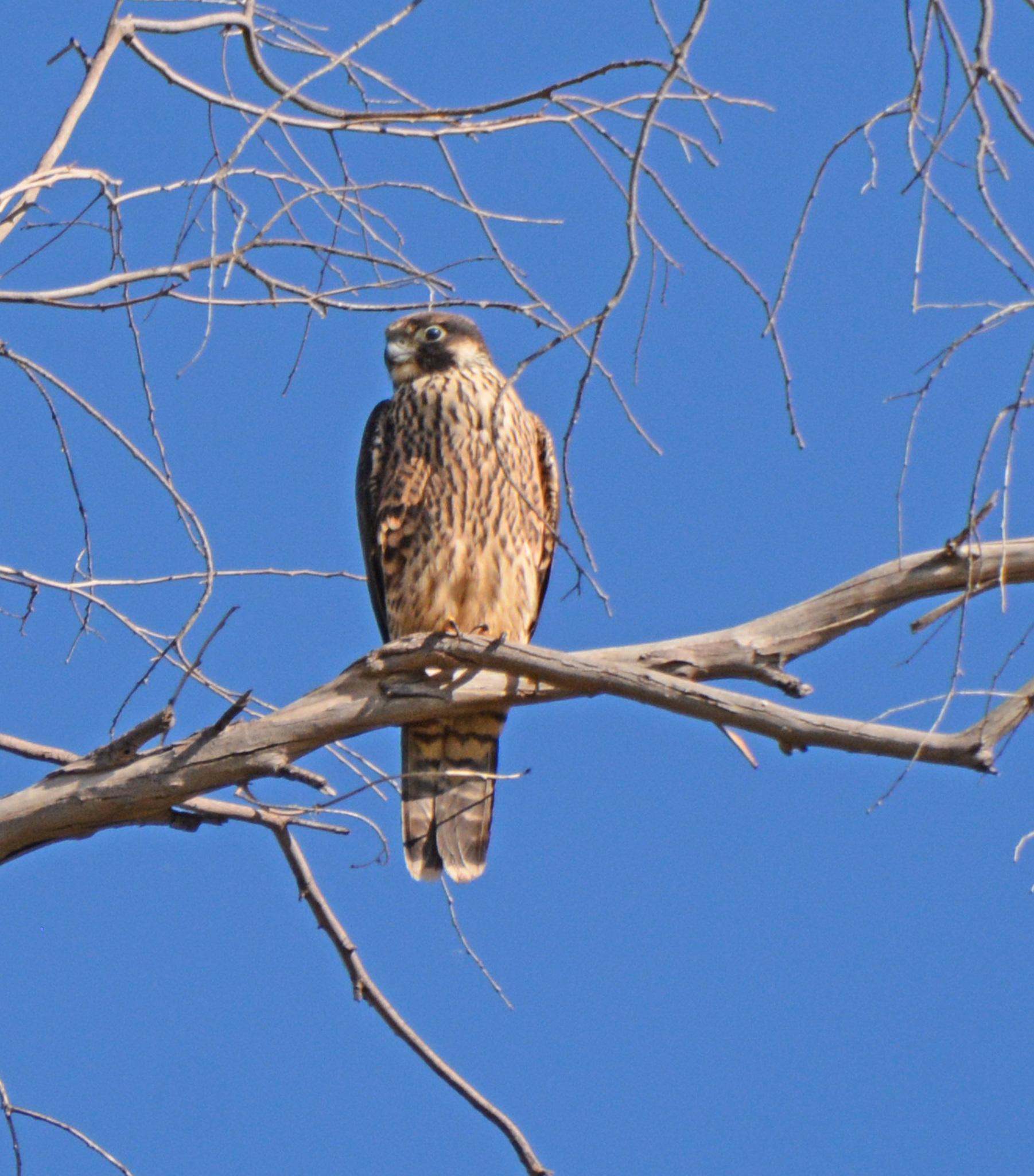 Image of <i>Falco peregrinus anatum</i> Bonaparte 1838