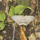 Image of <i>Psamathia placidaria</i>