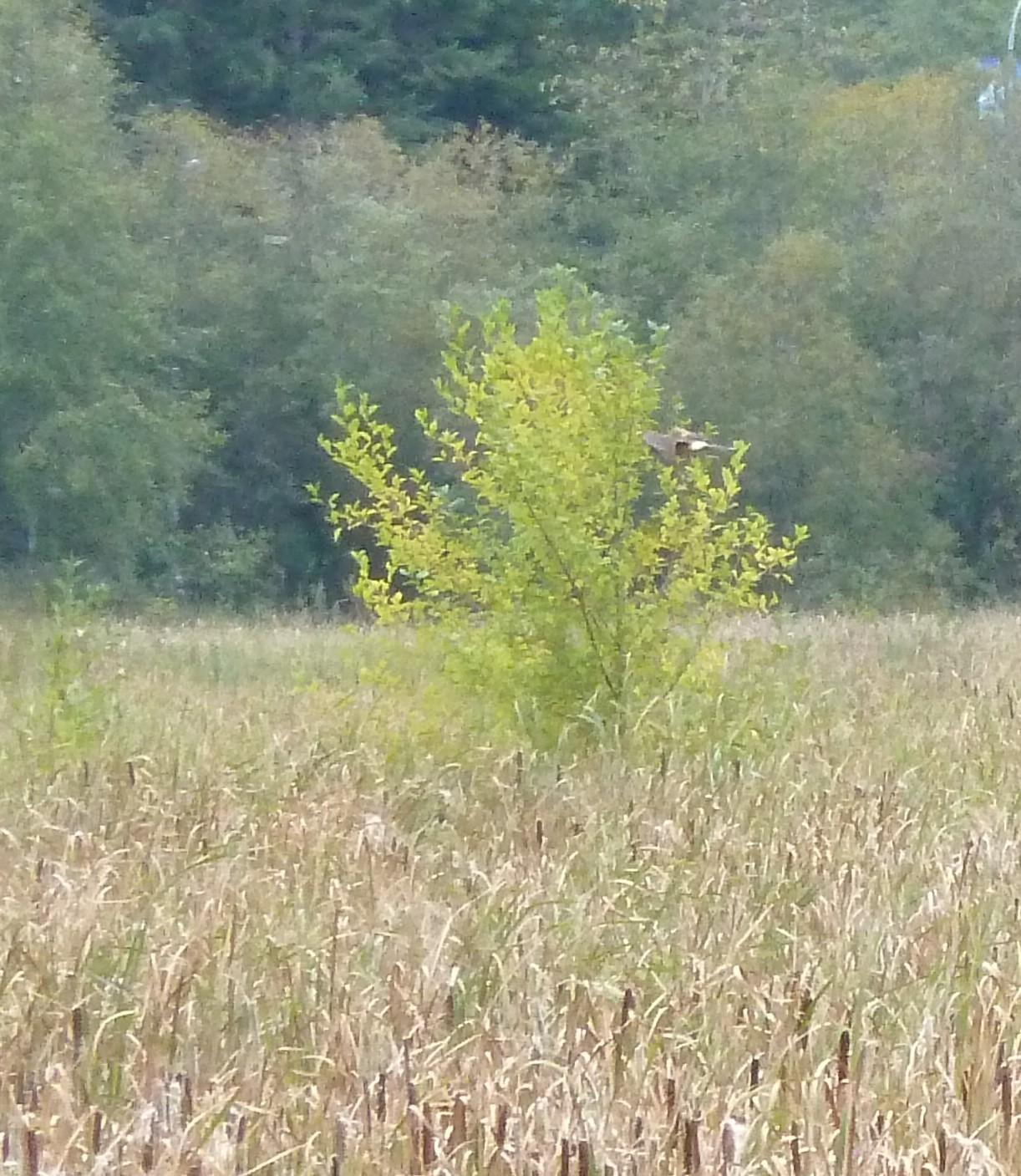 Image of Hen Harrier