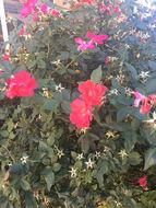 Image of <i>Rosa odorata</i>