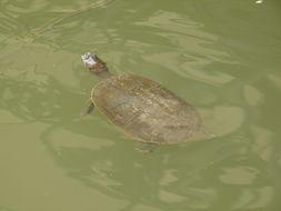 Image of Llanos Sideneck Turtle