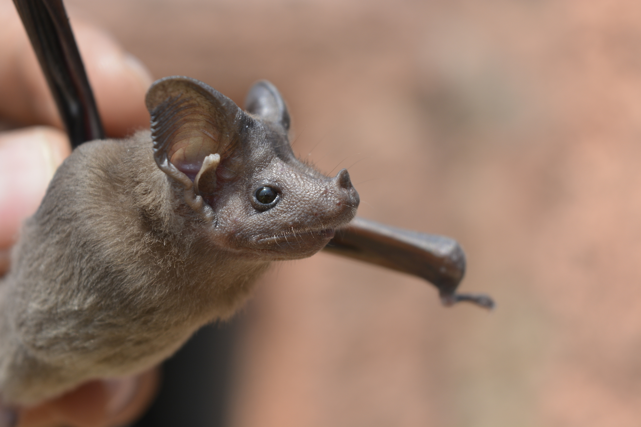Image of Lesser Mouse-tailed Bat
