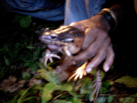 Image of Giant Ditch Frog