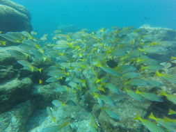 Image of Blue and gold snapper