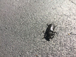 Image of Cedar Beetle