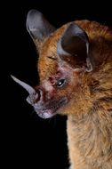 Image of Short-tailed Fruit Bat