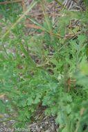Image of <i>Senecio viscosus</i>