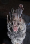 Image of Greater False Vampire Bat