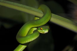 Image of White-lipped tree viper