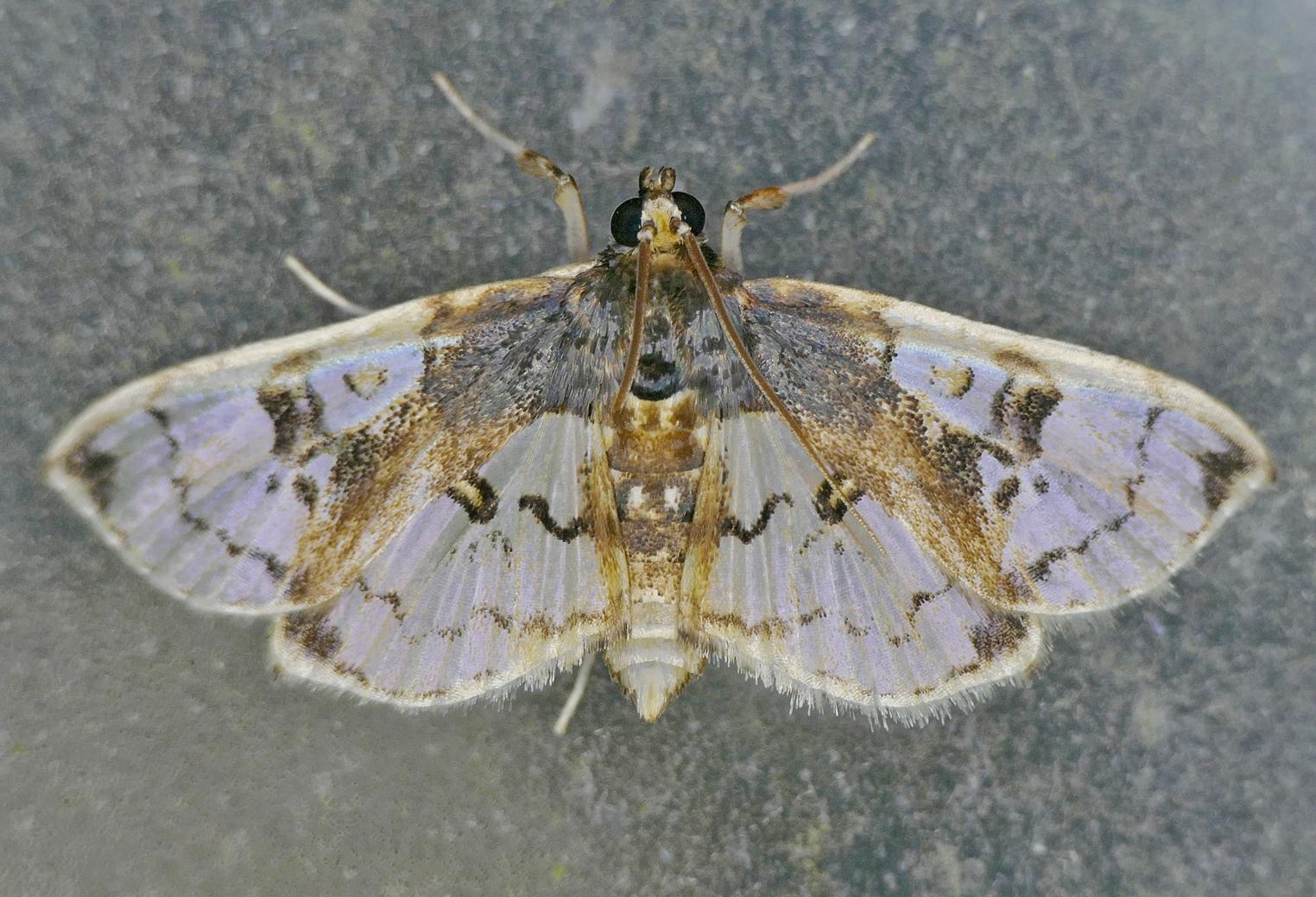 Image of <i>Compacta hirtalis</i> Guenée 1854