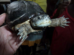 Image of West African mud turtle