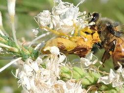 Image of <i><i>Phymata</i></i> (Phymata) <i>americana coloradensis</i> Melin 1930