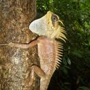 Image of <i>Acanthosaura nataliae</i> Orlov, Truong & Sang 2006