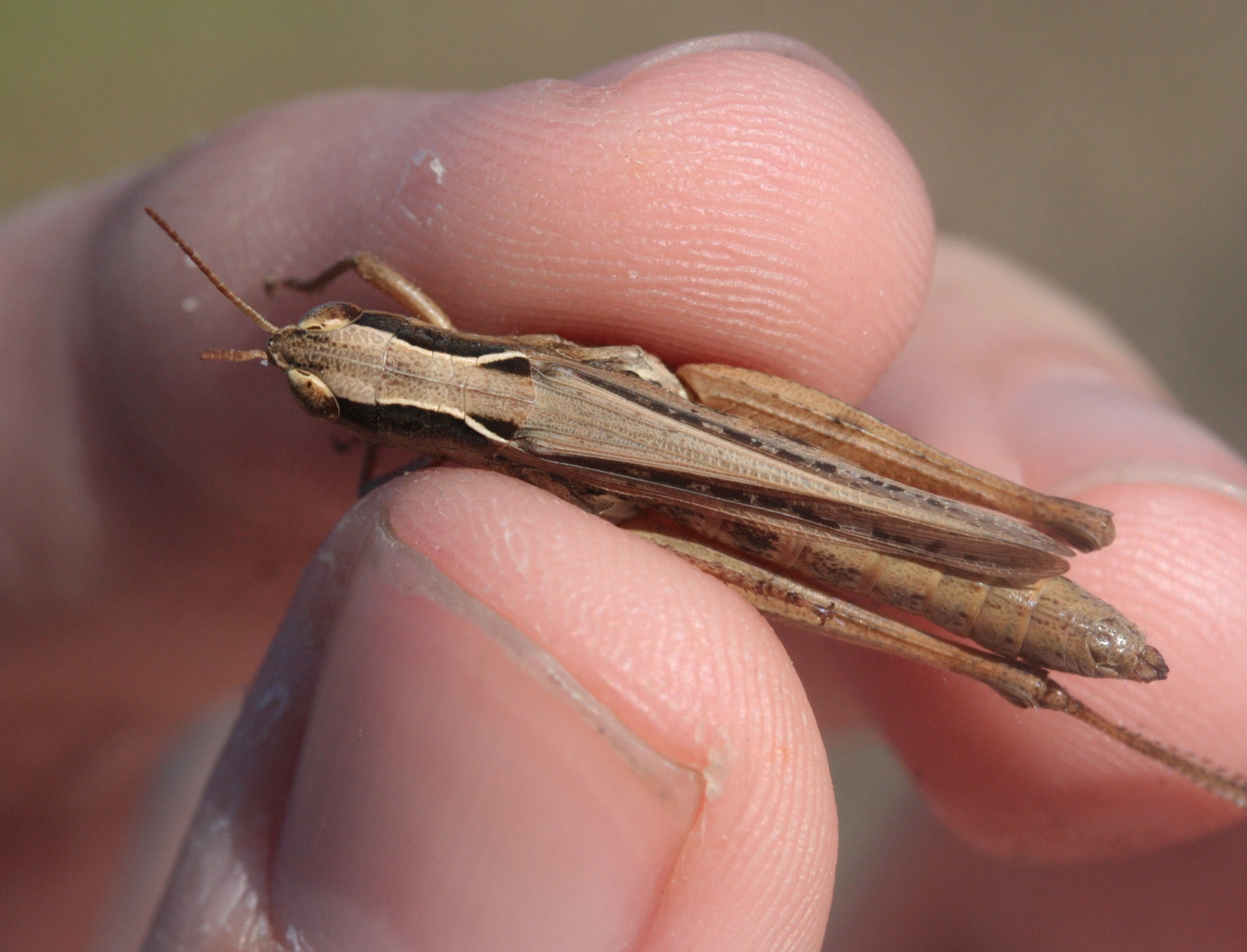 Image of Spotted-winged Grasshopper