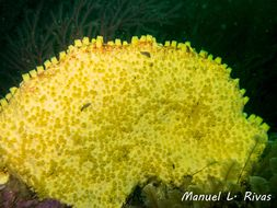 Image of boring sponge