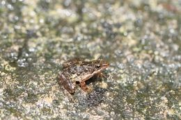 Image of Eungella Day Frog