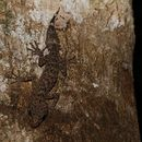 Image of <i>Phyllurus nepthys</i> Couper, Covacevich & Moritz 1993