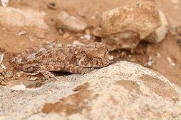 Image of Helmeted gecko