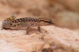 Image of Morocco Lizard-fingered Gecko