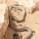 Image of False Smooth Snake
