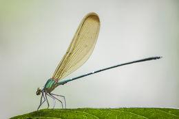 Image of <i>Vestalis apicalis</i> Selys 1873
