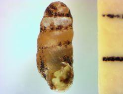 Image of <i>Gastrocopta pellucida</i> (L. Pfeiffer 1840)