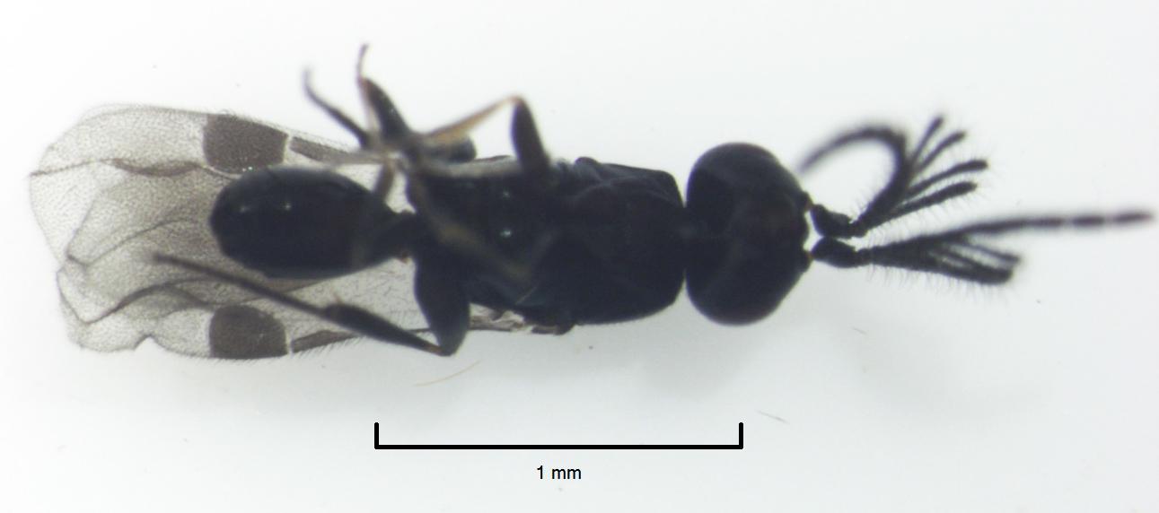 Image of Dendrocerus