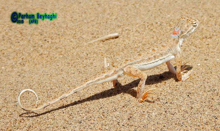 Image of <i>Phrynocephalus ornatus</i> Boulenger 1887