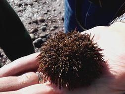 Image of green sea urchin