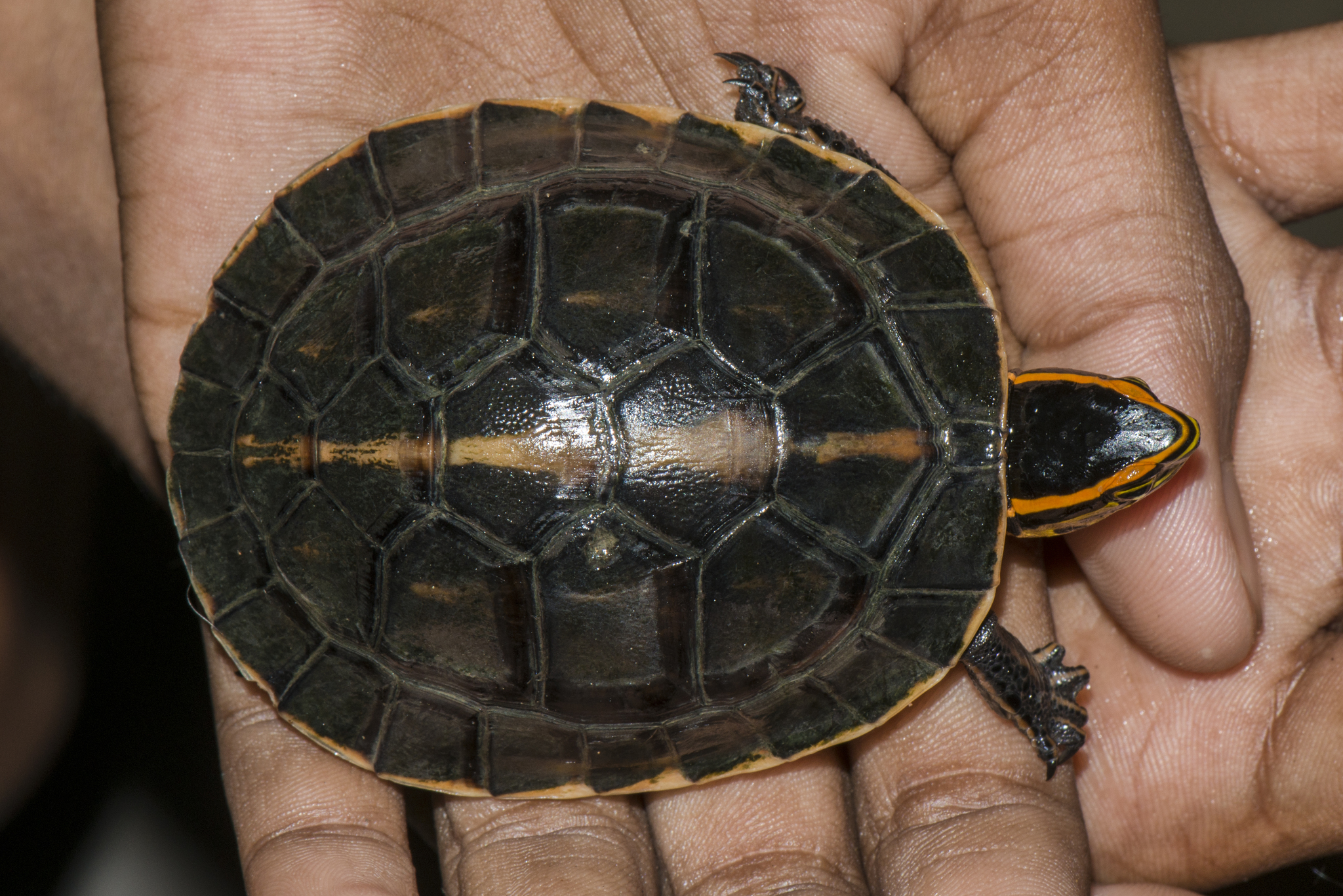 Image of Southeast Asian box turtle