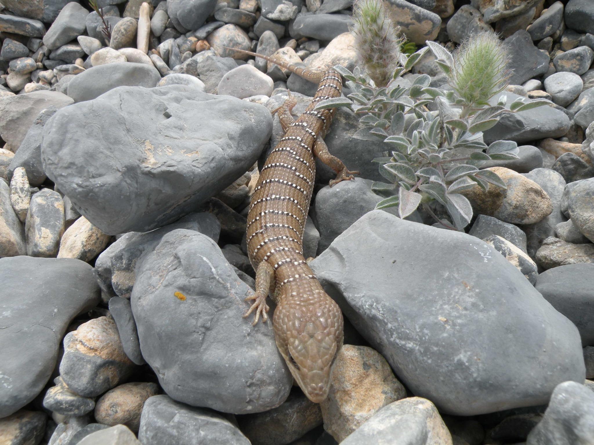 Image of Lugo's Alligator Lizard