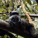 Image of Black-chinned Emperor Tamarin