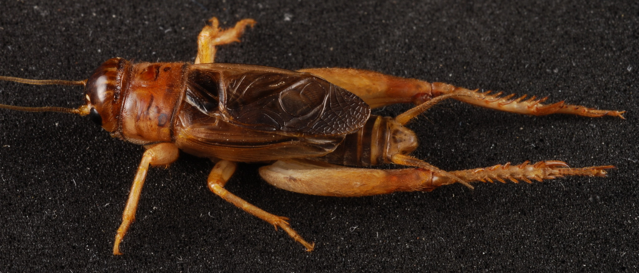 Image of Common Short-tailed Cricket