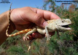 Image of Steppe Agama