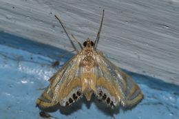 Image of <i>Eoophyla sejunctalis</i> Snellen 1876