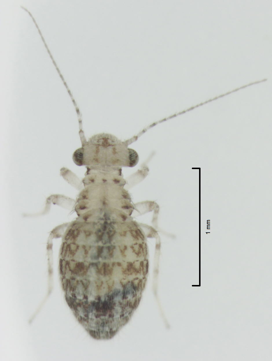 Image of Book lice